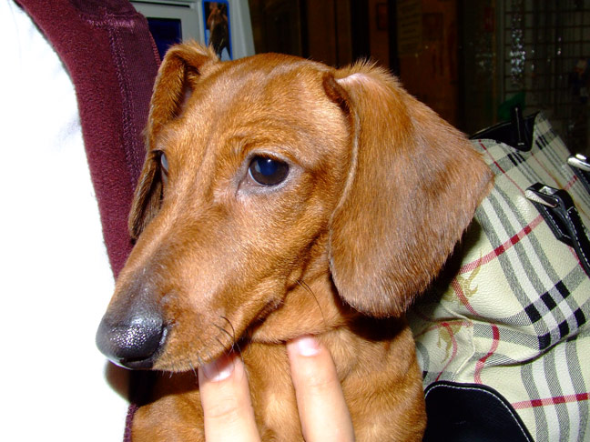 Dachshund Breed Information with Pictures - PuppyWire