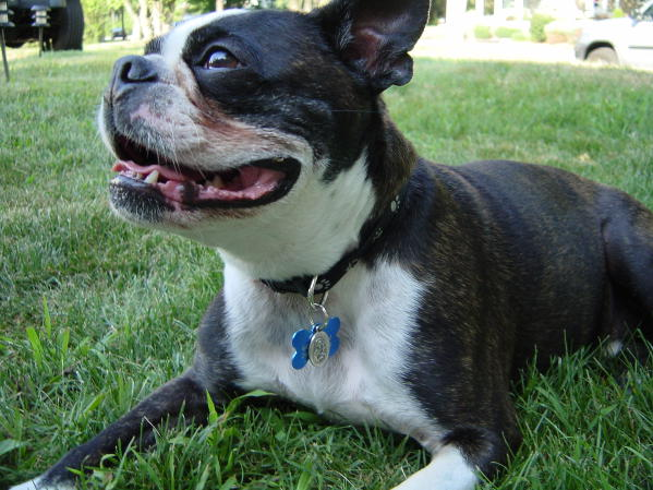 Boston Terrier smiling in yard