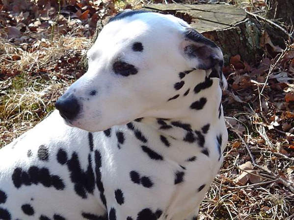 Dalmatian Breed Information with Pictures
