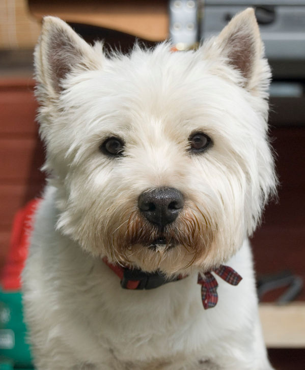 Top 10 Small White Dog Breeds