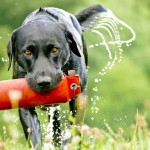 labrador retrieving in water