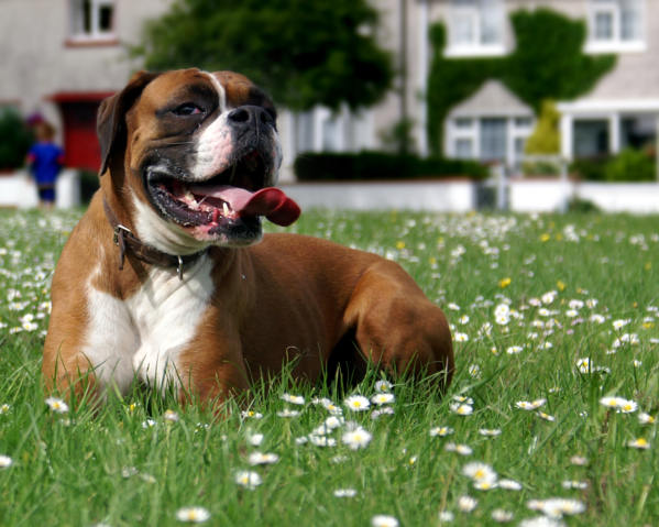 Happy Boxer in the grass