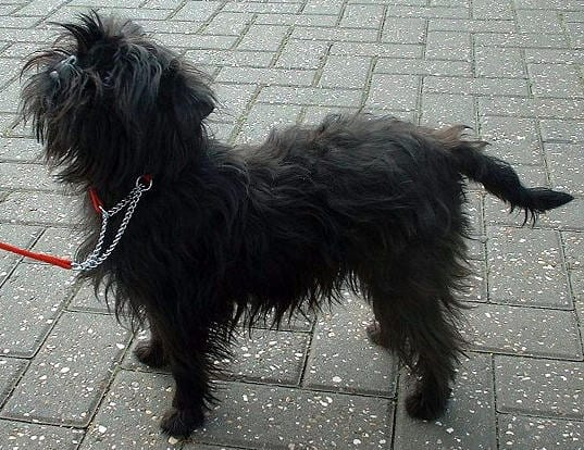 Affenpinscher Breed Image