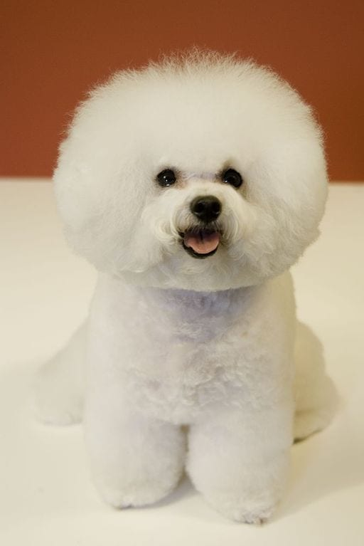 Well groomed Bichon Frise posing for the camera