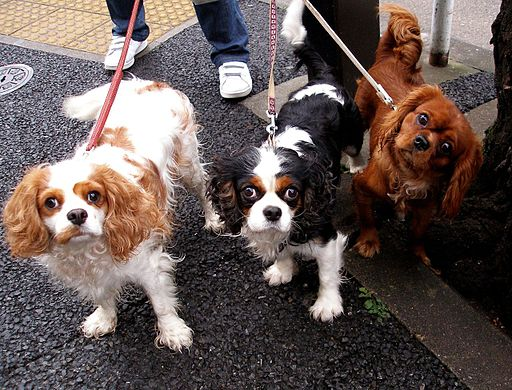 Owner walking 3 Cavalier King Charles Spaniels