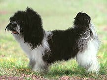 Kyi Leo Dog Breed