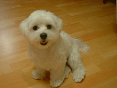 Maltese Breed Picture