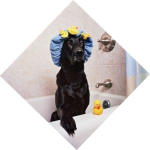 black-lab-bath-time1-300x300