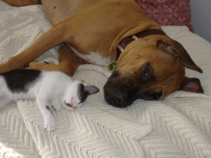 Boxer sleeping in bed with a kitten