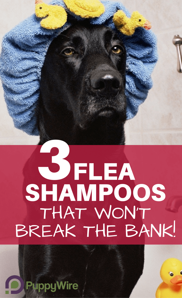 Here we cover our top 3 flea shampoo products to find the best flea shampoo for dogs. These 3 have been proven to work extremely well while not costing an arm and a leg.