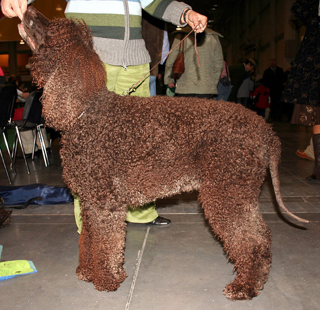 Irish Water Spaniel Profile Picture