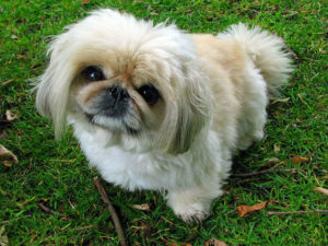 Pekingese breed picture