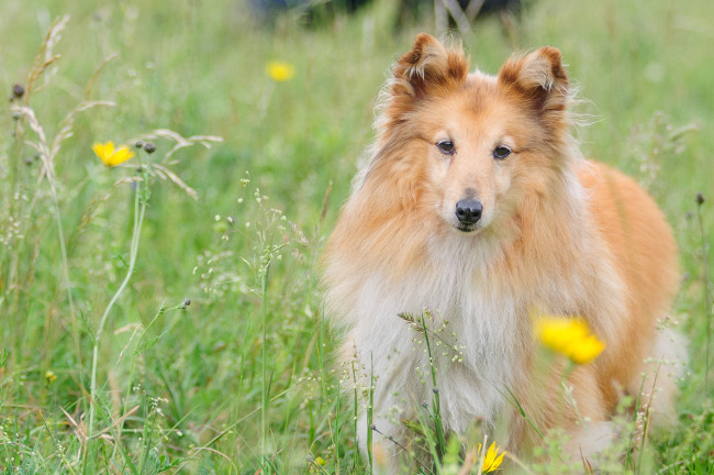 Shetland Sheepdog Breed Picture