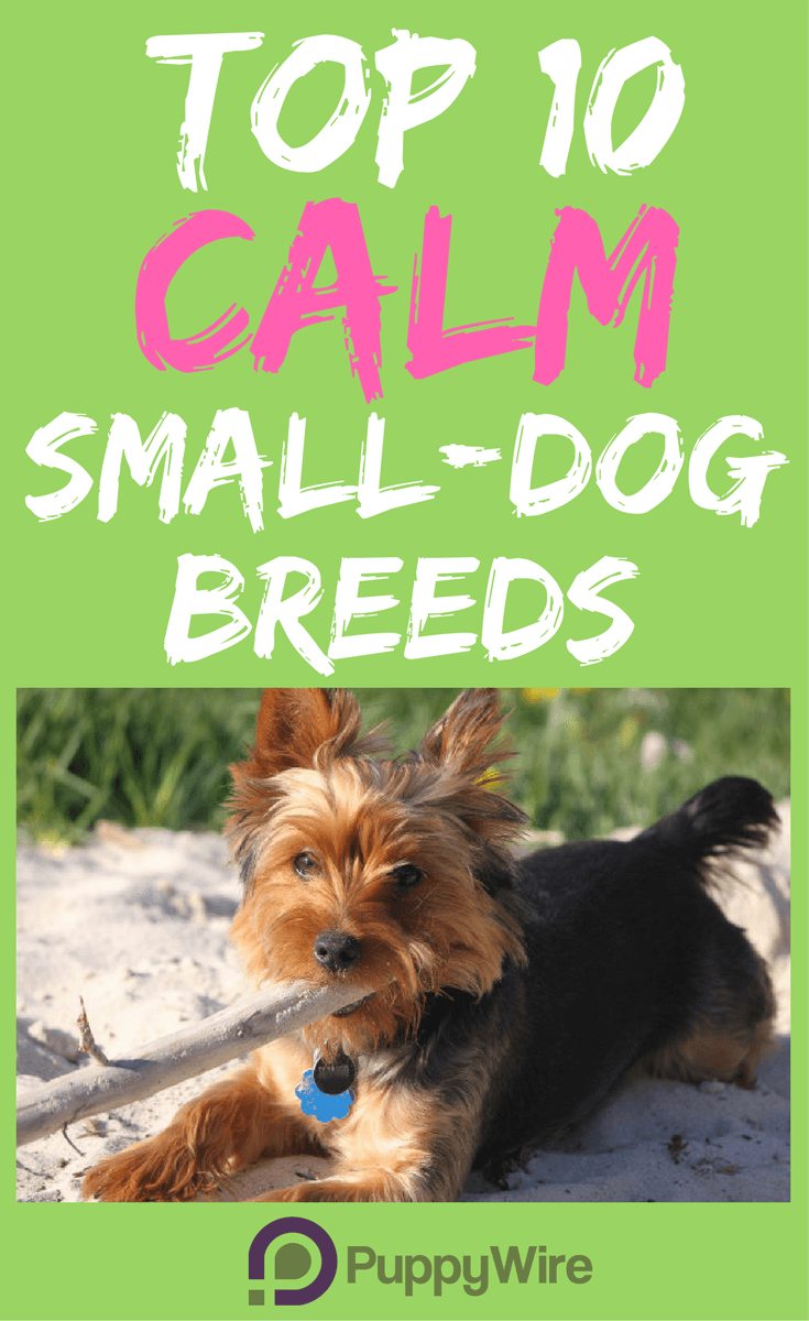 Top 10 Calm Small Dog Breeds Puppywire