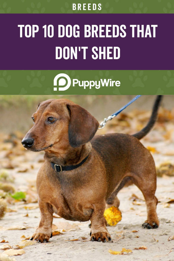 Top 10 Dog Breeds That Don't Shed