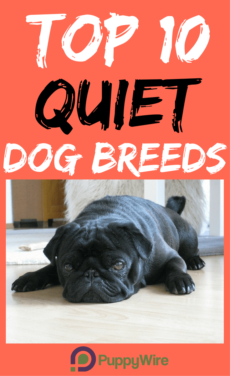Top 10 Small Quiet Dogs Puppywire