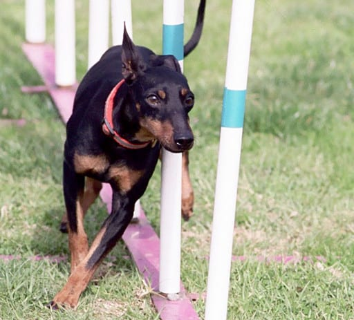 Toy Manchester Terrier