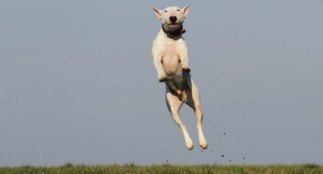 Happy and healthy dog jumping for joy