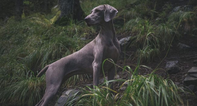 Healthy large breed hunting dog