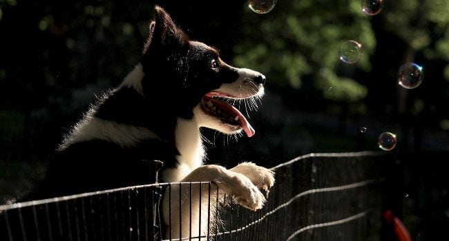 Dog Playing in Portable Fence