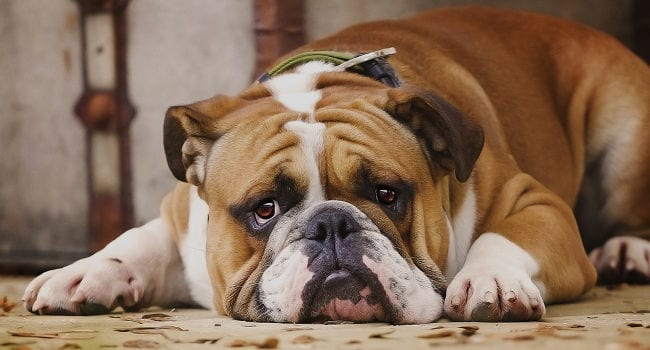 English Bulldog relaxing on floor after eating dog food