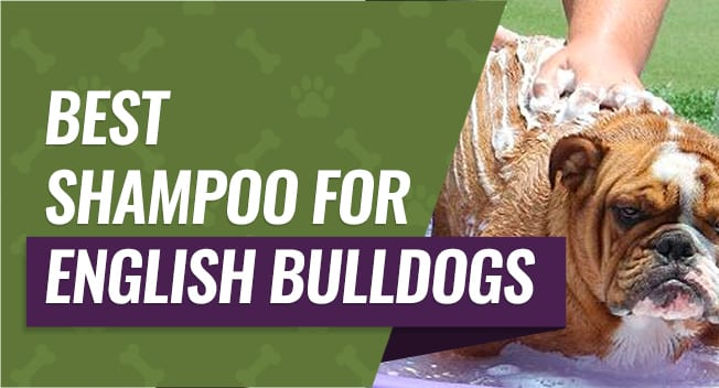 Shampoo for English Bulldogs