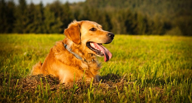 happy healthy golden retriever outside laying in grass