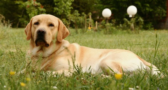 Labrador Retriever in Grass Meadow