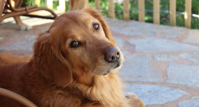 Golden Retriever relaxing on the patio on a sunny day