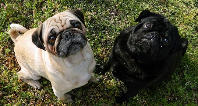 Pugs hanging out together outside