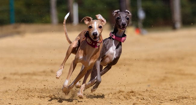 Greyhounds racing at the track