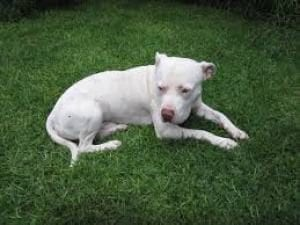 White Pitbull sitting in the grass