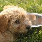 Puppy wanting more water to drink