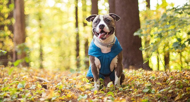 Happy dog in the woods wearing a winter jacket