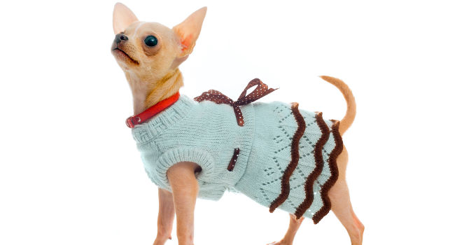 Fawn Chihuahua wearing a dress