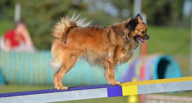 Long Coat Chihuahua on agility equipment