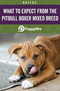 What to Expect From the Pitbull Boxer Mix Breed