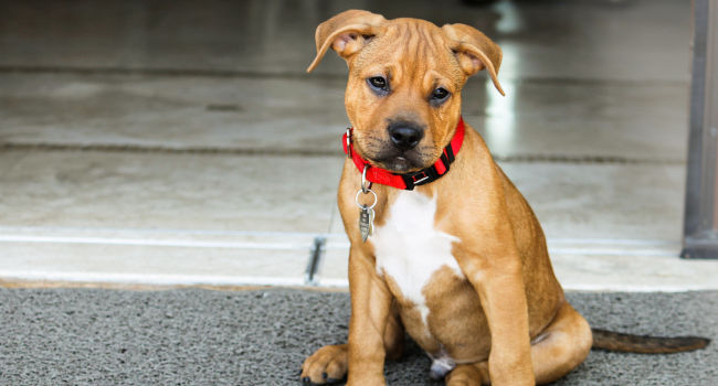 Pitbull Boxer Mix puppy posing for the camera