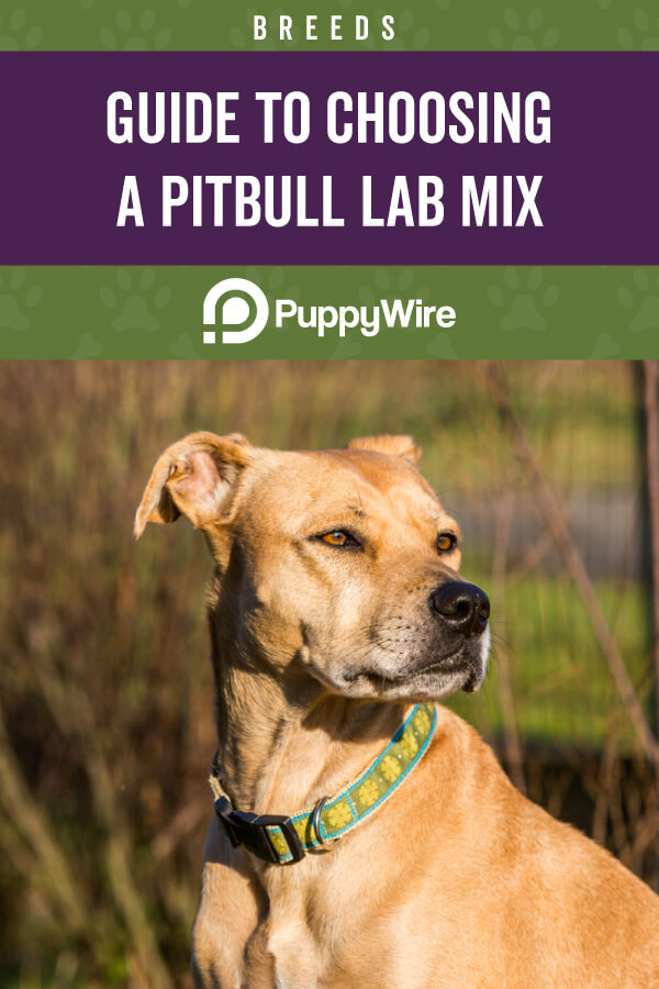 Guide to Choosing a Pitbull Lab Mix