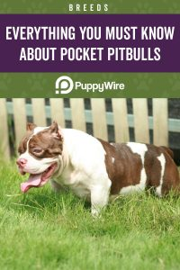 Everything You Must Know About Pocket Pitbulls