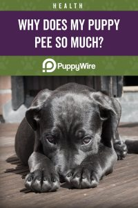 Why Does My Puppy Pee So Much?