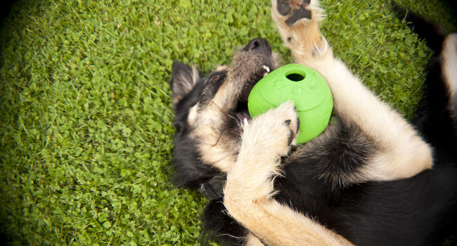 Happy dog playing with puzzle toy