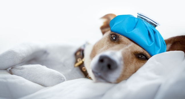 Dog with headache resting on bed