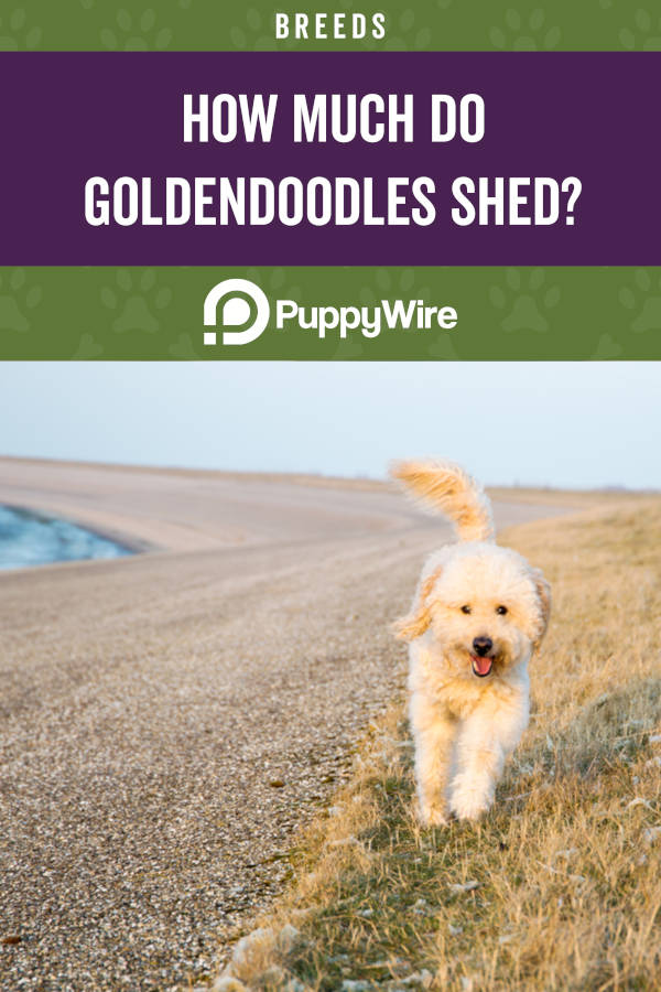 How Much Do Goldendoodles Shed?