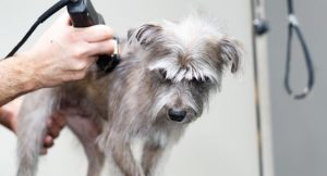 dog getting groomed with dog clippers