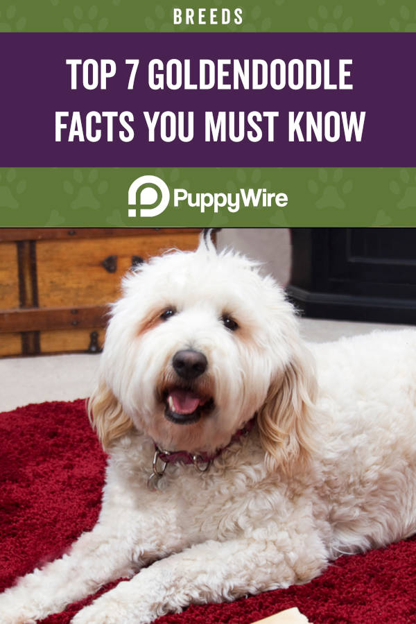 Top 7 Goldendoodle Facts You Must Know