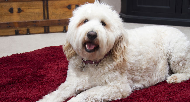 Goldendoodle relaxing on carpet