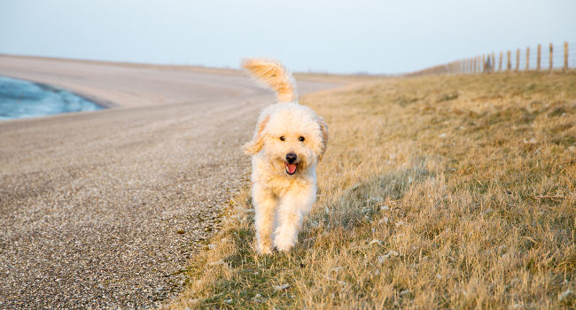 Goldendoodle running outside having fun
