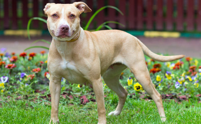Types of Pitbulls: What Are They & How Are They Different?
