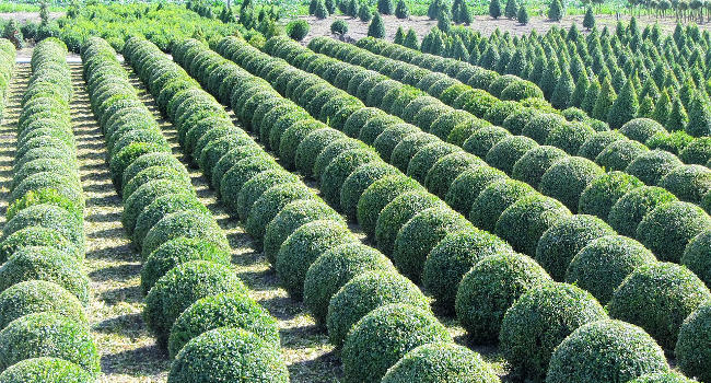 Boxwood Trees in a nursery